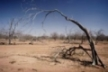 Dead vegetation in drought-stricken area, Senegal